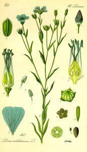 Disegno botanico della pianta di lino