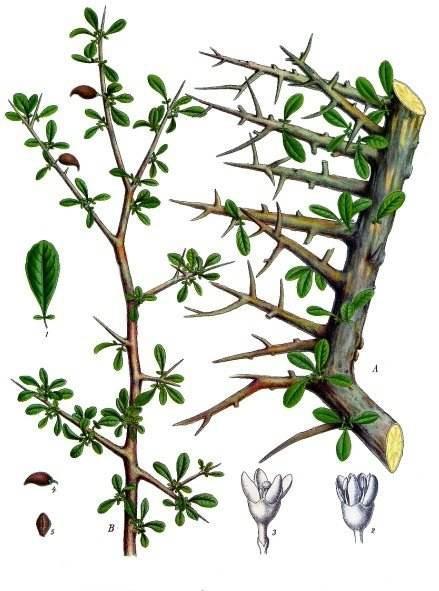 Disegno botanico della pianta di mirra