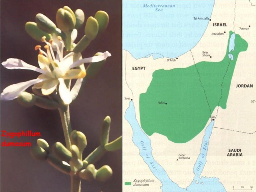 Zygophillum dumosum e la sua diffusione